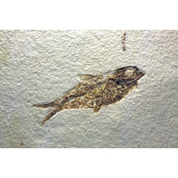 Fish fossil Tile