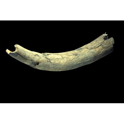 Fossil tusk of woolly Mammoth