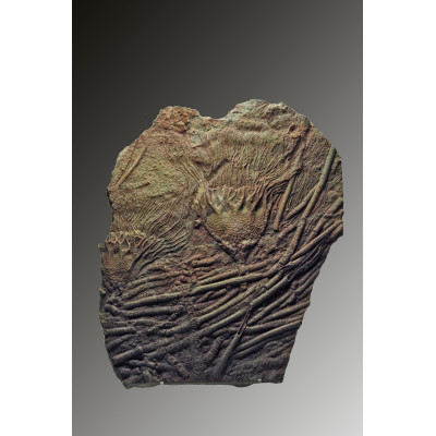 Large plate with Crinoids